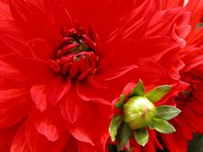 Free Dahlia Mother And Baby Royalty Free Stock Images - 973829