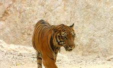 Free Tiger Walking Stock Photography - 973932