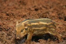 Free Baby Pig In The Mud 7 Stock Photo - 973970
