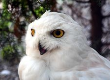 Free Snow Owl 2 Royalty Free Stock Photos - 973988