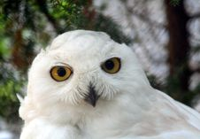 Snow Owl 3 Stock Photos