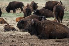 Free Buffalo Resting Stock Images - 974394