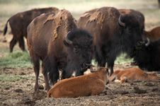 Free Buffalo Mother And Calf Royalty Free Stock Photography - 974397