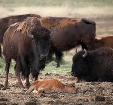 Free Buffalo Mother Watching Over Her Young Royalty Free Stock Image - 974406