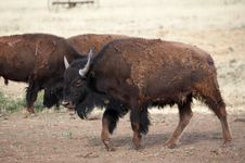 Free Buffalo Grazing Royalty Free Stock Photos - 974438