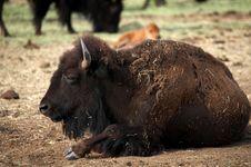 Free Buffalo Resting Stock Photos - 974473