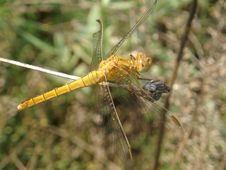 Free Dragonfly Stock Images - 974744
