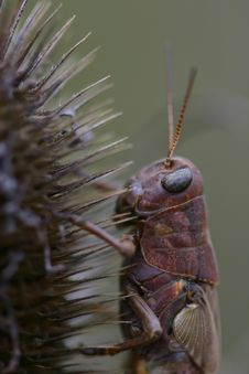 Grasshopper On Dry Thistle Stock Photo