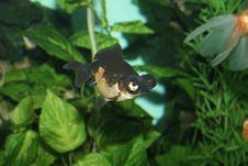 Free Aquarian Fish Stock Photo - 975070