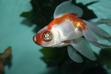 Free Aquarian Fish Royalty Free Stock Photography - 975107