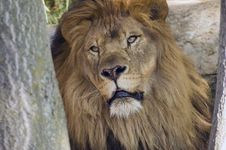 Free King Of The Jungle Stock Photos - 975193