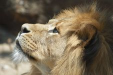 Free Male Lion Stock Image - 976431