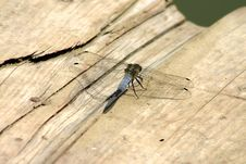 Free Blue Dragon Fly Royalty Free Stock Photo - 976665