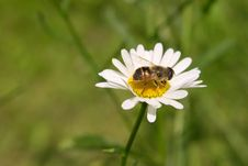 Daisy With Bee Stock Images