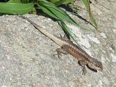 Free Stone Lizard Stock Photography - 976872