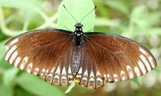 Free Brown Butterfly Royalty Free Stock Images - 977069