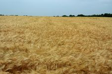 Free Field Of Rye Stock Photo - 977560