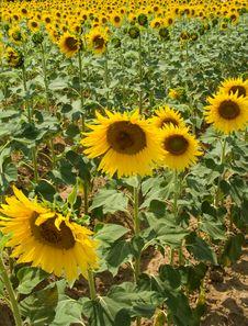 Free Sunflower Stock Photo - 977640