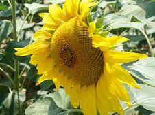 Free Sunflower Stock Photos - 978323