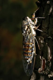 Free Cicada Stock Images - 978334