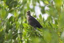 Free Singing Bird Royalty Free Stock Image - 978426