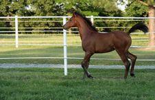 Free Arabian Filly Stock Photography - 978532