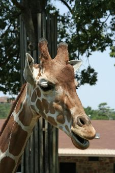 Free Giraffe Stock Photos - 978543