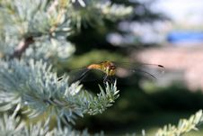 Dragon Fly Eat Silver Cedar Stock Image