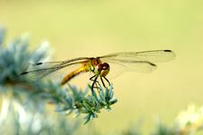 Dragon Fly Eat Silver Cedar Royalty Free Stock Photography