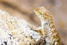 Free Koh Samui Lizard Royalty Free Stock Image - 979146