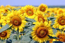 Free Sunflowers Stock Image - 979331