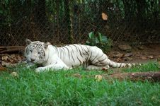 Free While Tiger - Panthera Tigris Royalty Free Stock Images - 979479