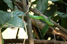 Free Green Snake Stock Image - 979651
