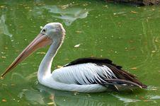 Free Black Goose - Cygnus Atramus Stock Image - 979751