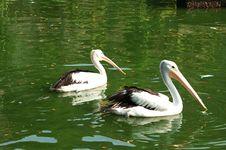 Free Black Goose - Cygnus Atramus Stock Images - 979754