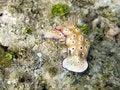 Free Nudibranch In Polynesia Stock Image - 9703051