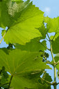 Free Grape Leaves Across The Sky Royalty Free Stock Images - 9703779
