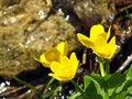 Free Marsh Marigold Royalty Free Stock Images - 9707079