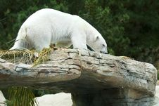 Free White Polar Bear Stock Photos - 9700103