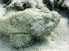False Stonefish Stock Images