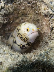 Free Little Moray Eel Stock Images - 9702984