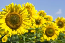 Free Sunflowers Stock Photography - 9703022