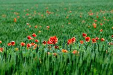 Free Poppy. Stock Image - 9703071