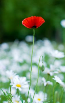 Free Alone Poppy Flower Among Camomiles Stock Photos - 9703113