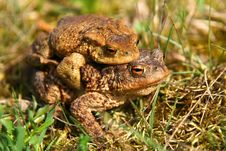 Mating Frogs Royalty Free Stock Images