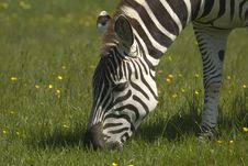 Free Zebra Stock Photography - 9703322