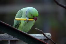 Free Parrot Chewing Pencil Royalty Free Stock Photo - 9703475