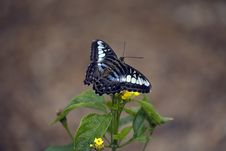 Parthenos Sylvia Butterfly Royalty Free Stock Images