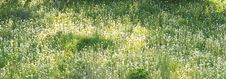 Free Lawn Of Dandelions Royalty Free Stock Photography - 9703607