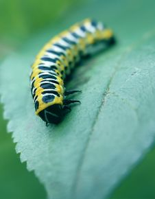 Free Caterpillar Royalty Free Stock Photos - 9703758